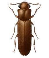 Powder-Post-Beetle