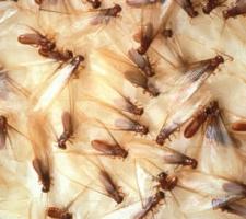 termites-swarmers
