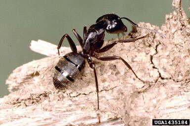 carpenter-ant